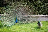 Peacock couple — Stock Photo