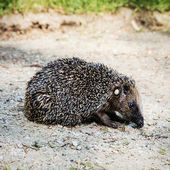 One European hedgehog (Erinaceus europaeus) — Stock Photo