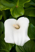 White calla flower — Stock Photo