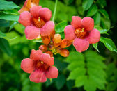 Trumpet vine flowers (Campsis radicans) — Stock Photo