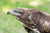 Close up of a Golden eagle (Aquila chrysaetos) — Stock Photo