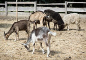 Sheep and goats — Stock Photo