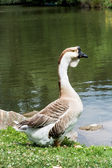 Swan goose (Anser cygnoides) — Stock Photo