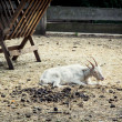Goat resting near the feeder — Stockfoto