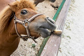 Falabella miniature horse — Stock Photo