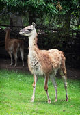 Guanako (Lama guanicoe) — Stock Photo