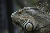 Green Iguana in captivity — Stock Photo