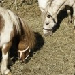 Domesticated horses in farmland — Stock Photo