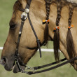 Stock Photo: Domesticated horse with braids