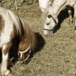 Stock Photo: Domesticated horses in farmland