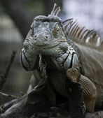Green iguana frontal view — Stock Photo