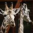 West africgiraffes — Stock Photo #37874515