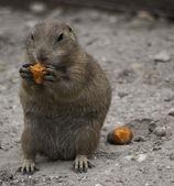 Black-tailed prairie dog eating — Stock Photo