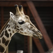 Africgiraffe — Stock Photo #37900939