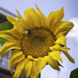 Stock Photo: Sunflower head with bee.dng