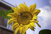 Sunflower head with bee.dng — Stock Photo