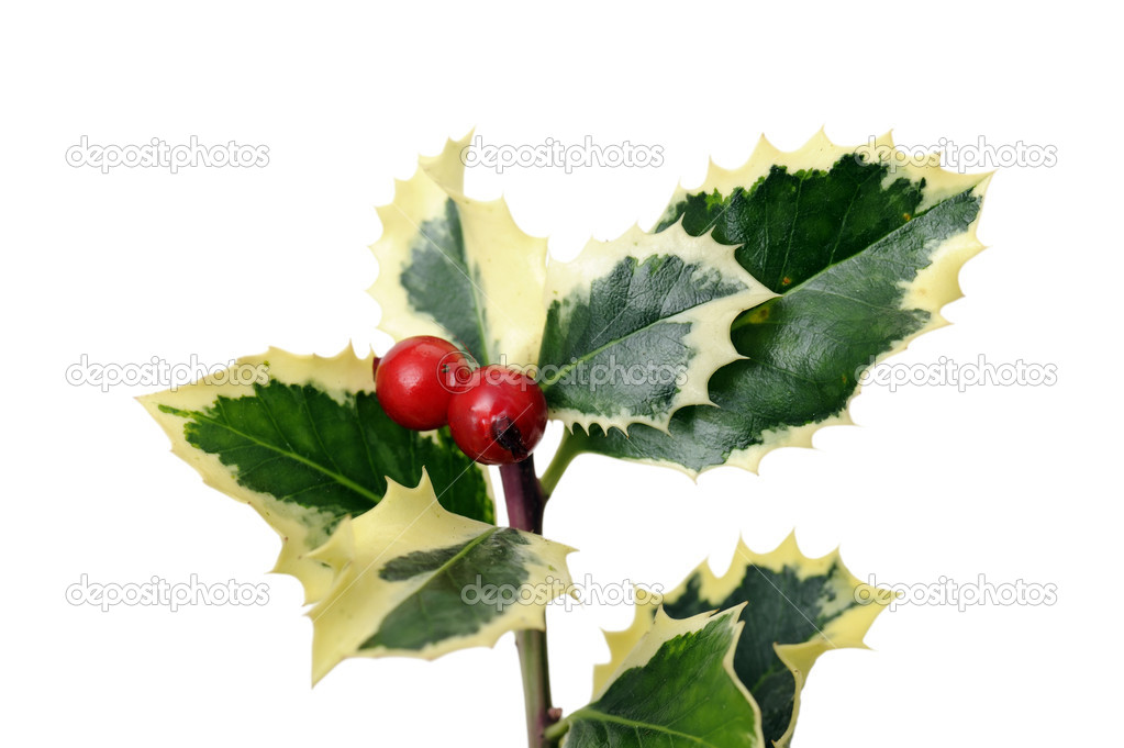 Holly with red berries, isolated on white  Stock Photo #14987909