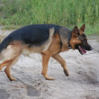 German Shepard Dog - Stock Photo