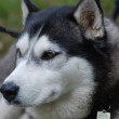 Malamute Dog - Stock Photo