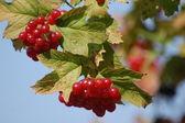 Red Viburnum berries on bush — Stock Photo