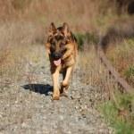 German Shepard Dog — Stock Photo