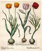 Tulipan — Zdjęcie stockowe