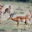 Stock Photo: Gerenuk with his wives