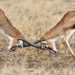 Thomson's Gazelles fight — Stock Photo