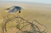 Black-shouldered Kite catching the mouse — Stock Photo