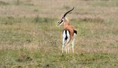 Thomson's Gazelle — Stock Photo