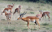 Gerenuk with his wives — Stock Photo