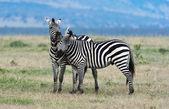 Plants Zebras — Stock Photo