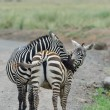 Plains Zebras — Stockfoto