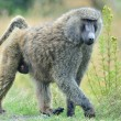 SavannBaboon — Stock Photo #12852198