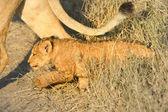 Lion kid — Stock Photo