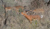 Gazelle is eating tree leaves with his wives. — Stock Photo