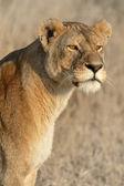 Je regarde du lion — Photo