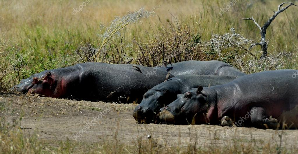 Hippopotamuses are sleeping on the ground. — Stock Photo #13189174