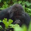 Stock Photo: Mountain Gorillas