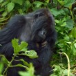 Dominant Male Mountain Gorilla — Stock Photo