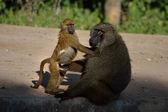Male Savanna Baboos — Stock Photo