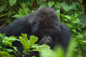 Mountain Gorillas — Stock Photo