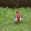 Red-crested Cardinal — Stock Photo