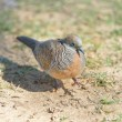 Zebra Dove — Stock Photo