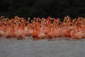 Greater flamingos — Stock Photo
