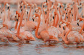 Greater flamingos — Stock Photo