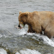 Brown bear catching the salmon — Stock Photo #22094411