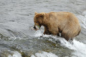 Brown bear catching the salmon — Stock Photo