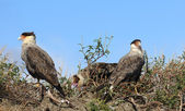 Crested Caracara parents and children — Stock Photo