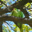 Rose-ringed parakeets matting — Stock Photo #22453963
